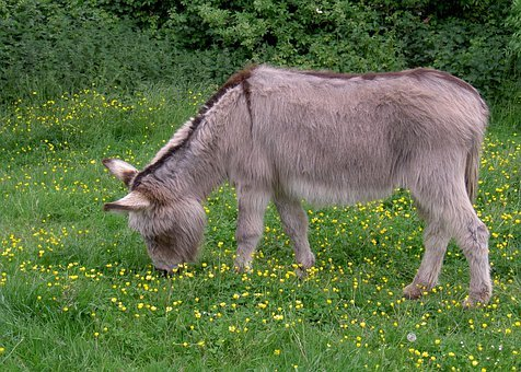 Donkey, Ass, Equus Africanus Somaliensis, Meadow
