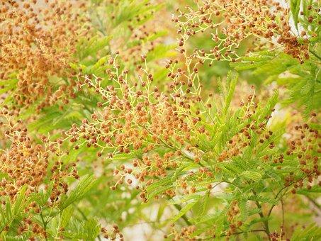 Mimosa, Tree, Faded, Seeds, Mimosa Pudica