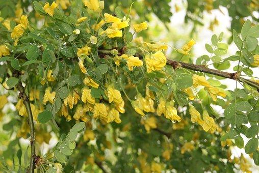 Nature, Yellow Acacia, Spring, Tree, Trees