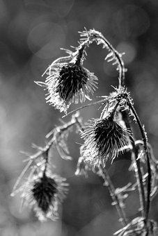 Thistles, Thorns, Flower, Plant, Nature, Natural, Flora