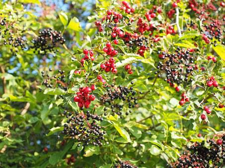 Bush, Scrub, Hedge, Berries, Fruits, Red