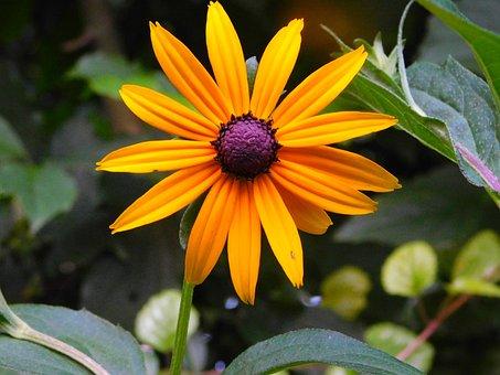 Coneflower Flower, Coneflower, Rudbeckia, Orange Flower
