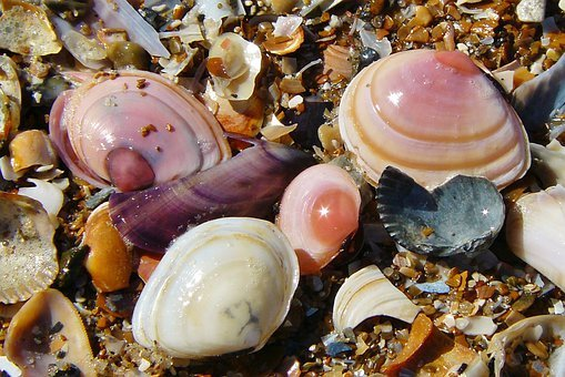 Shell, Mussels, Sea Animals, Seashell, Mother Of Pearl