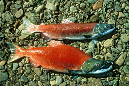 Red Salmon, Sockeye Salmon, Sockeye, Red, Beach