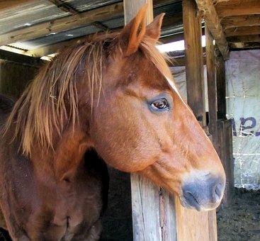 Sorrel Horse, Red, Brown, Quarter Horse, Whole Horse