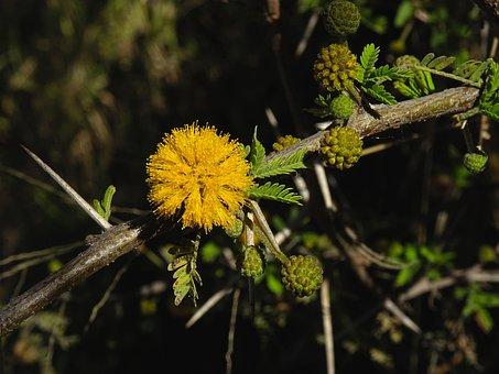 Acacia, Sweet Acacia, Sponge Tree, Antilles Acacia