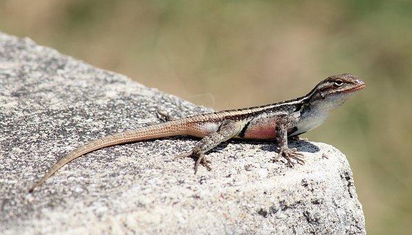Texas Rose-bellied Lizard, Rock, Macro, Close-up