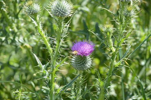 Thistles, Plants, Purple, Flowers, Buds, Shoots