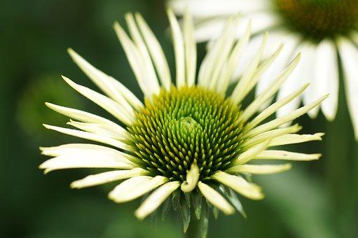 Echinacea, White, White Sunhat, Flowers, Coneflower