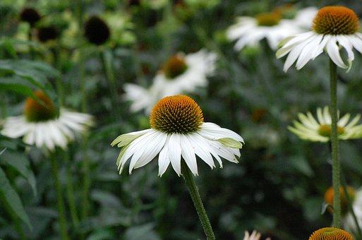 Coneflower, Echinacea, Flower, White, Nature, Spring