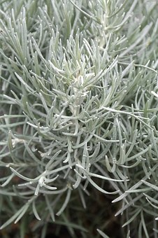 Italian Immortelle, Semi Shrub, Needles, Silver, White