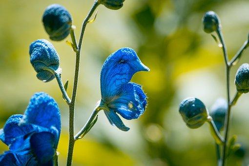 Wild Sage, Blossom, Bloom, Blue, Blue Flowers