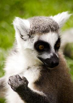 Ring Tailed Lemur, Madagascar, Wildlife, Lemur, Animal