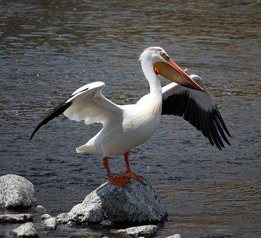 Pelican, Stretch, Rock, Fox River, Appleton, Wisconsin