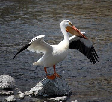 Pelican, Stretch, Rock, Fox River, Appleton, Wisconsin