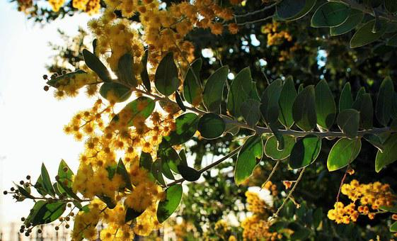 Acacia Tree, Bloom, Leaves, Tree, Flowers, Yellow