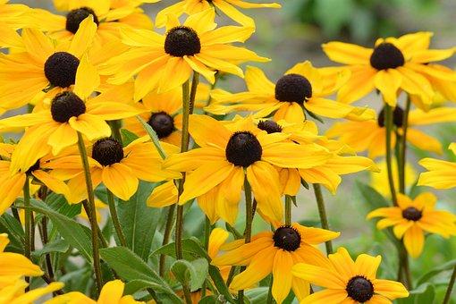 Coneflower, Yellow, Yellow Flowers, Shining Coneflower