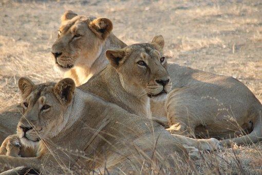 Lions, Asiatic Lion, Wildlife, Gujarat, Wild