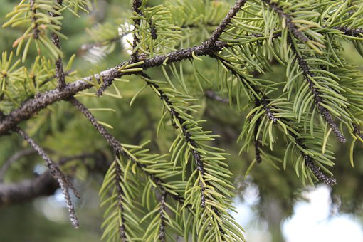 Pine, Fir, Spruce, Conifer, Nature, Tree, Branch