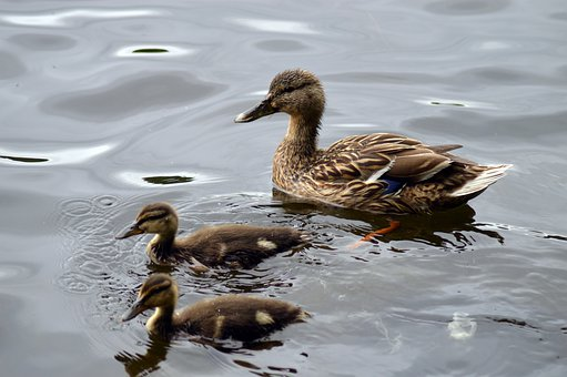 Duck, Ducklings, Feathers, Chicks, Plumage, Pond, Water