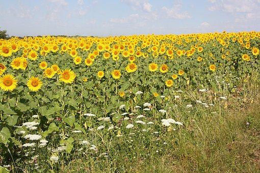 Flowers, Flora, Yellow, Sunflower Field, Nature