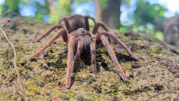 Tarantula, Spider, Insect, Animal, Forest
