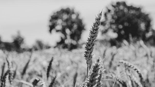 Field, Meadow, Wheat, Cereals, Barley