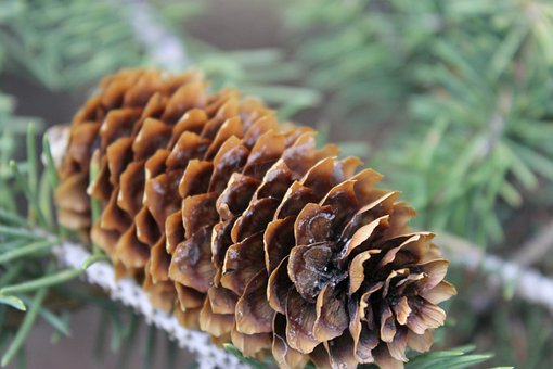 Pine Cone, Pine, Tree, Branch, Nature, Coniferous