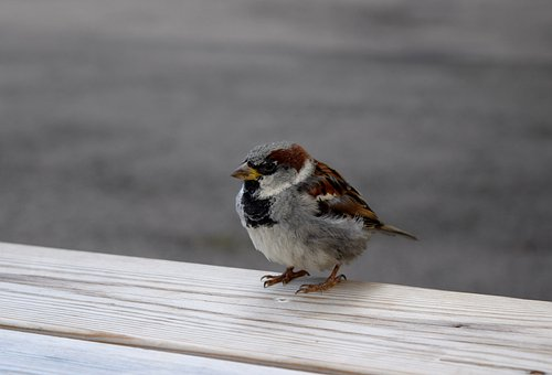 Bird, Sparrow, Sperling, Plumage, Feather, Nature