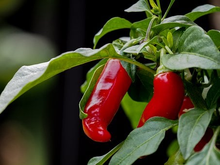 Chilli, Plant, Tree, Branch, Leaves, Vegetables, Red