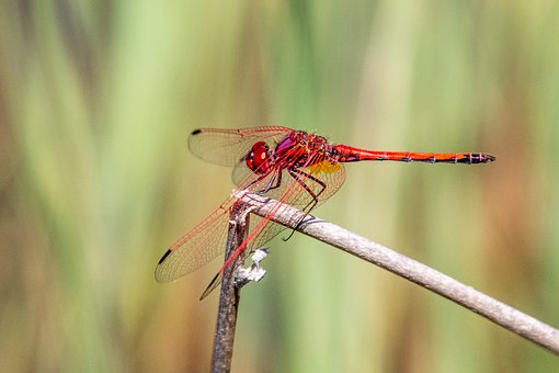 Dragonfly, Insect, Damselfly, Bug, Wildlife, Summer
