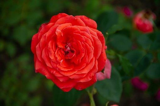 Flower, Cluj, Napoca, Bothanical, Garden, Closeup