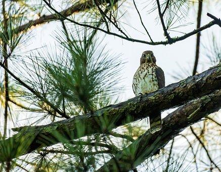 Bird, Hawk, Tree, Foliage, Branch, Coopers Hawk, Raptor