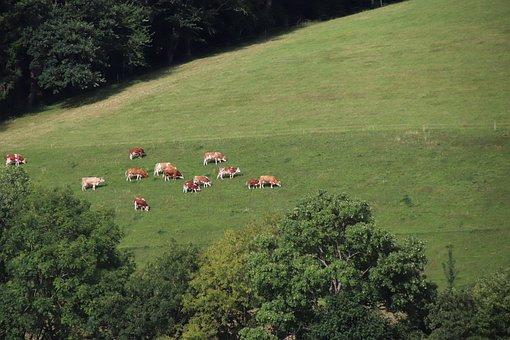 Cow, Animal, Farm, Pasture, Nature, Calf, Agriculture