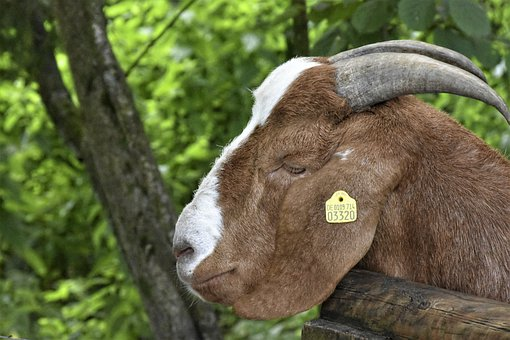 Goat, Horns, Animal, Livestock, Mammal, Tag, Fur, Farm
