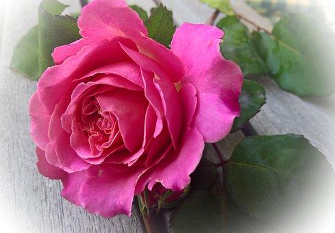 Rose, Flower, Rose Bloom, Summer, Schnittblume, Nature