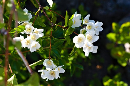 Flowers, Blossoms, White, Green, Flora, Nature