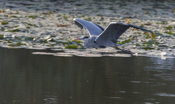 Bird, Flight, Wings, Animal, Wildlife, Feathers, Flying