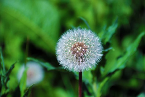 Dandelion, Flower, Plant, Leaves, Nature, Seeds, Flora