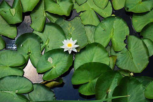 Water, Lilly, One, Flower, Green, Leaves, Surface, Pond