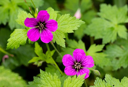Geranium ' Ann Folkhard, Flowers, Petals, Leaves, Pink
