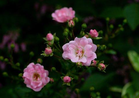 Rosa ' The Fairy, Florets, Roses, Petals, Buttons
