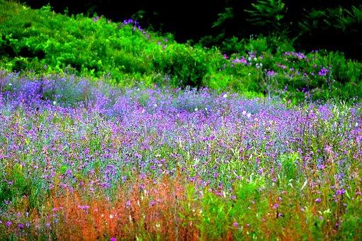 Lavender, Field, Purple, Garden, Flora, Meadow, Flower