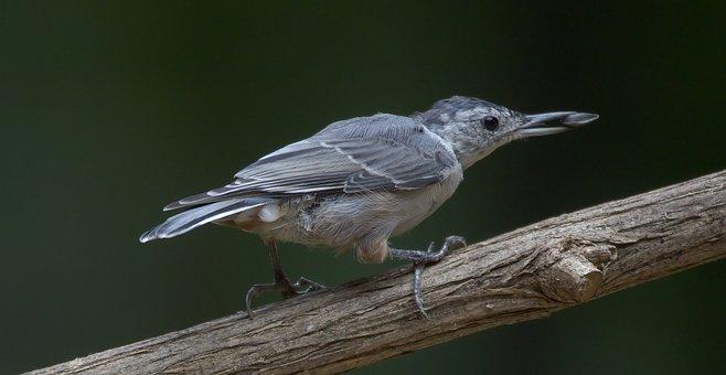 Bird, Avian, Wings, Nuthatch, Gray, Food, Eating, Seed
