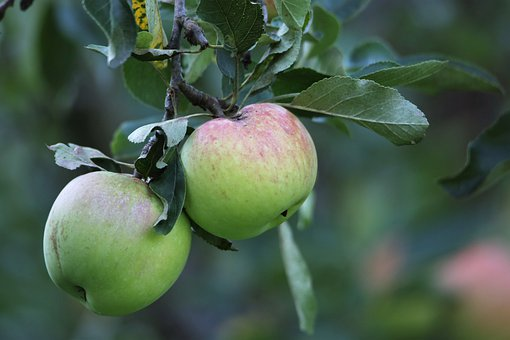 Apples, Green Apples, Fruit, Branch, Leaves, Tree