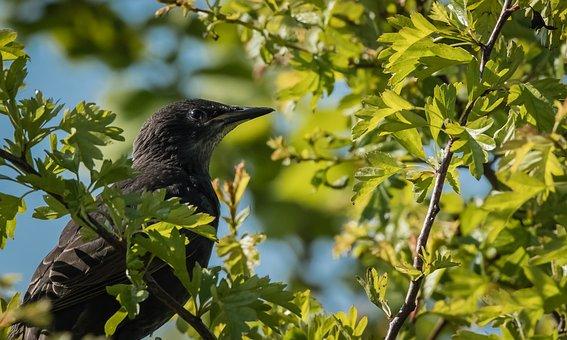 Bird, Black, Feathers, Beak, Avian, Trees, Leaves