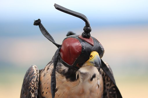 Falcon, Raptor, Leather Cap, Leather Hood, Hunting