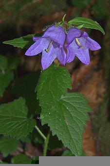 Flower, Petals, Plant, Bellflower