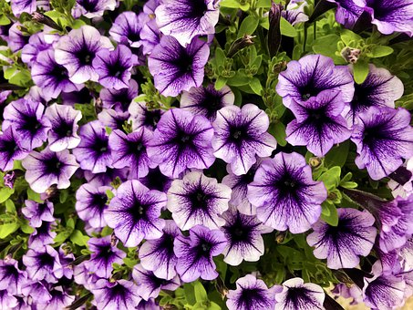 Flowers, Petunia, Plant, Garden, Flora, Purple, Bloom