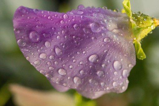 Flower, Petals, Dew, Drops, Rain, Violet
